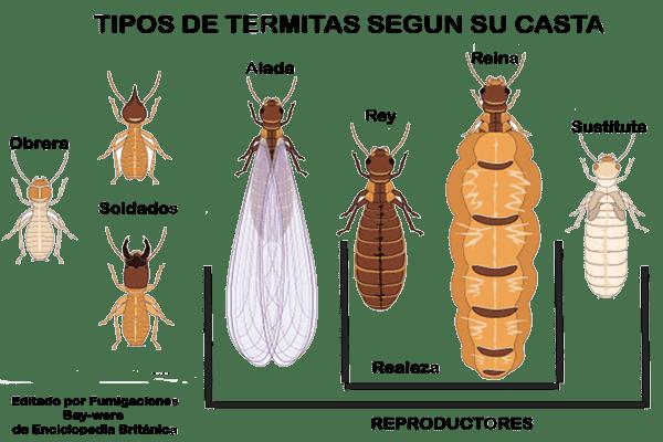 casta-termita-reina-soldado-obrera.png